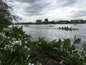 Rowers between Putney Bridge and Hammersmith Bridge