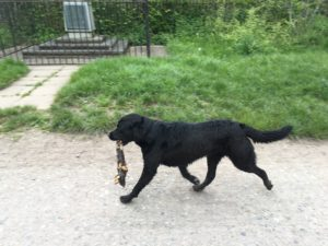 Jack, a contender for the Rover 'log-carrying' award