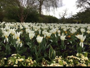 Last few days of the tulips at Kew Gardens