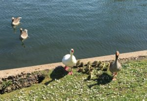 Protective Embden geese along the footpath