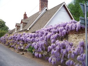 Wisteria House at Shillingford