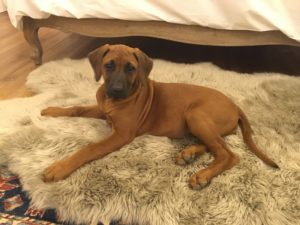 Sassie .. the cutest Rhodesian Ridgeback you ever did see