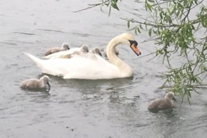 Swans with their cygnets