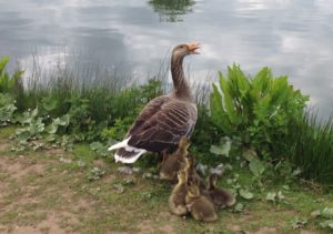 A fiercely protective goose with her brood