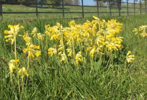 Carpets of cowslips